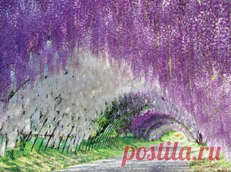 Можно задержаться в Японии и увидеть еще одно красивое место — тоннель из глициний в саду Кавати Фудзи.