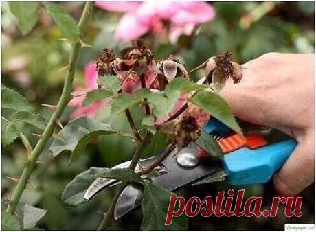 О том, как правильно обрезать розы: