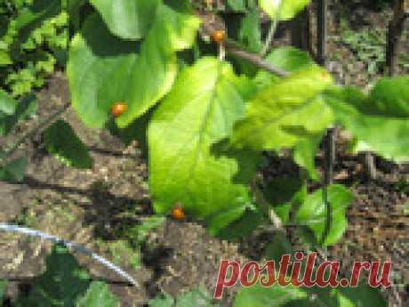 Микроэлементы в жизни растений Подкармливая культуры на участке, садоводы в первую очередь заботятся о пополнении запаса макроэлементов (азота, фосфора, калия). Мало кто задумывается, что значение микроэлементов в жизни растений играет важную роль. Для начала рассмотрим признаки, указывающие на недостаток.