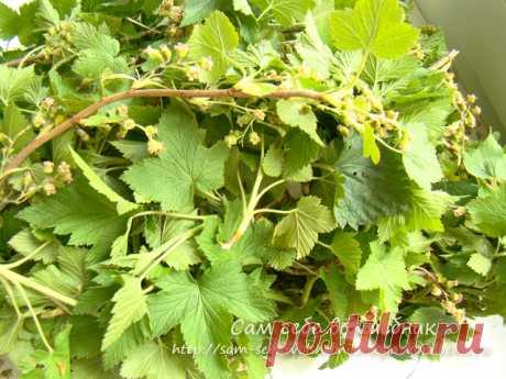 Вессений марафон: заготавливаем листья смородины для нашего фито чая на зиму - Сам себе волшебник