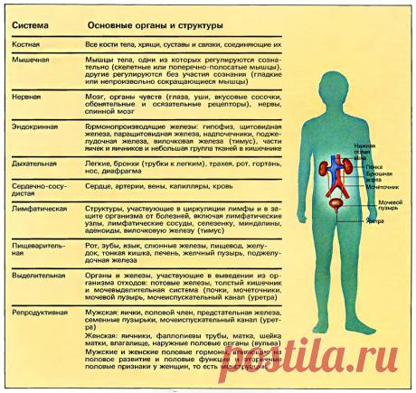 Основные органы и структуры человека