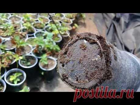 Как мы выращиваем и размножаем малину .