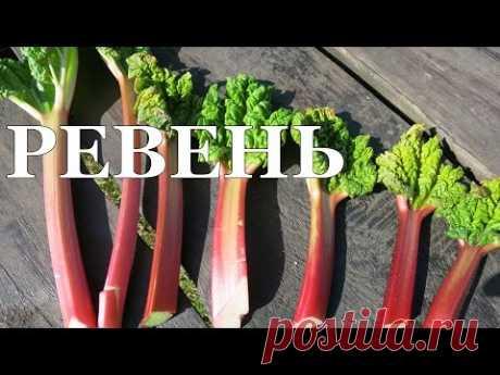 РЕВЕНЬ. Ускоряем рост черешков! // Rhubarb. Forcing leaf stalks