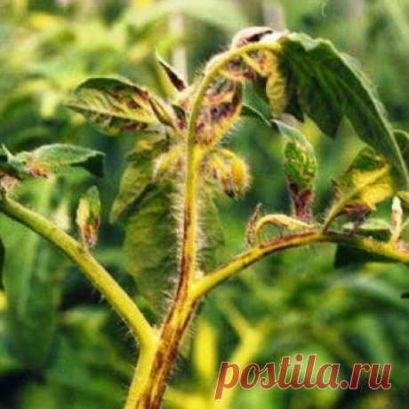 Болезни и вредители томатов: фото, обработка, лечение и защита томатов от болезней и вредителей