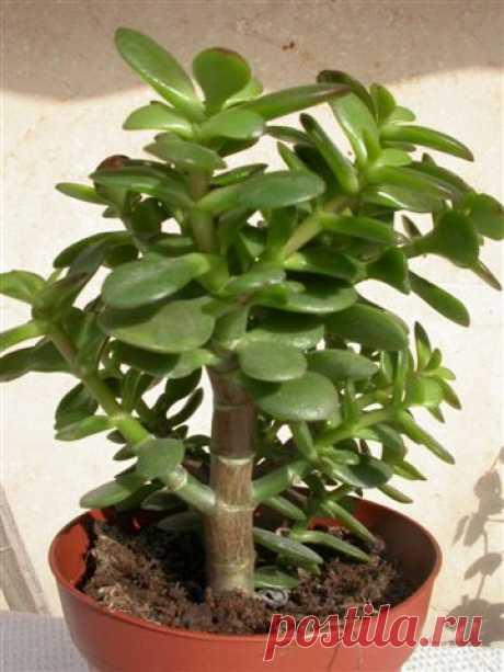 Полезные, лечебные свойства «денежного дерева»