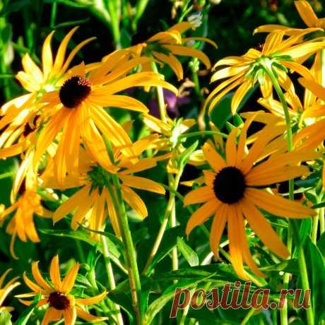Многолетний садовый цветок Рудбекия (Rudbeckia). Семейство: сложноцветные (Compositae)  Синонимы: водосбор, орлик, голубки  Многолетнее травянистое растение с красочными желтыми соцветиями-корзинками. Отличается неприхотливостью и длительным цветением. Цветет с июля по август.  Основные виды Р.рассеченная (R.laciniata) - куст высотой 1,5-2 м, густо ветвящийся, образует заросли (корневища разрастаются широко в стороны). Листья рассеченные, соцветия махровые.