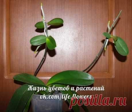 Размножение фаленопсиса детками. Инструкция.  На многих орхидеях детки появляются сами по себе: у некоторых сортов фаленопсиса перед окончанием цветения на конце цветоноса образуется пара новых листочков. Рядом вырастают небольшие корни – появляется готовая маленькая орхидея.  Такие ростки называются кейки, или детки. Чаще всего они появляются на моноподиальных орхидеях или гибридах орхидей Phalaenopsis lueddemanniana или P. equestris. На других орхидеях стимулировать появ...