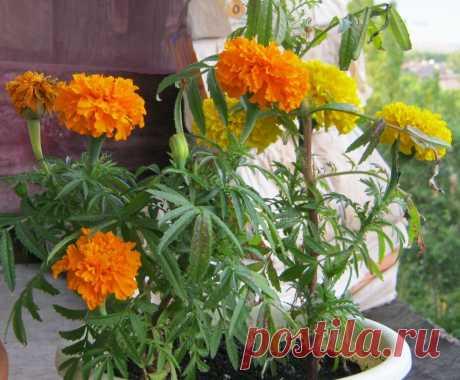 Цветы-репелленты, которые обязательно нужно сажать в цветнике, огороде и саду | Идеальный сад | Яндекс Дзен