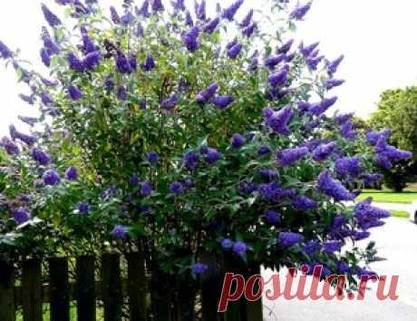 Название многолетних кустарников, цветущих весной, летом и осенью