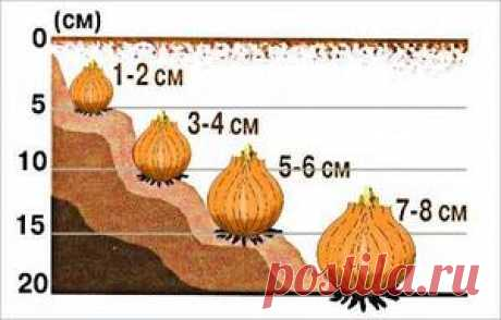 Все про посадку луковичных растений перед зимой | 6 соток