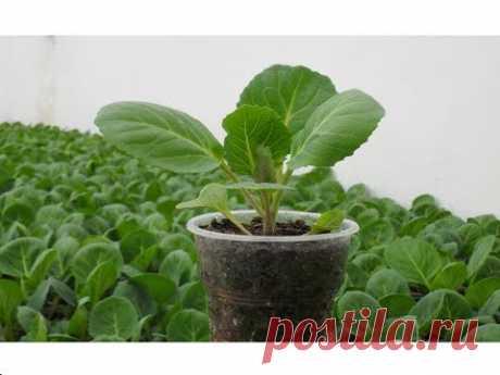 Рассада капусты / Секреты выращивания крепкой здоровой рассады капусты