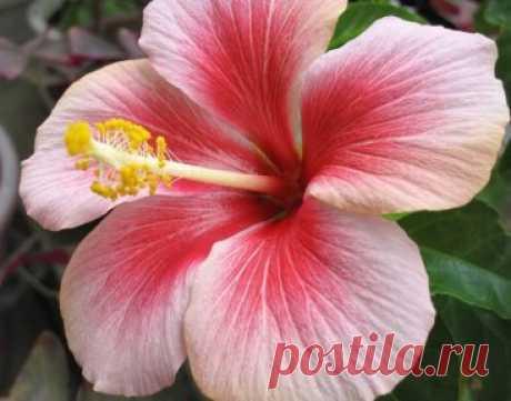 ПОЧЕМУ У ГИБИСКУСА ЖЕЛТЕЮТ И ОПАДАЮТ ЛИСТЬЯ? Гибискус, известный ещё и как китайская роза (Hibiscus rosa-sinensis), можно считать одним из самых роскошных и изысканных комнатных растений. Его крупные яркие цветы, контрастирующие с зеленью глянцевой листвы, неизменно привлекают к себе внимание, как цветоводов-любителей, так и профессионалов.К сожалению, этот роскошный красавец иногда начинает «капризничать», расстраивая своих хозяев ухудшением внешнего вида, пожелтением и опадением листьев. Причи