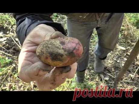 Как из 1 кг КАРТОШКИ собрать 100 кг КАРТОШКИ урожай картошки