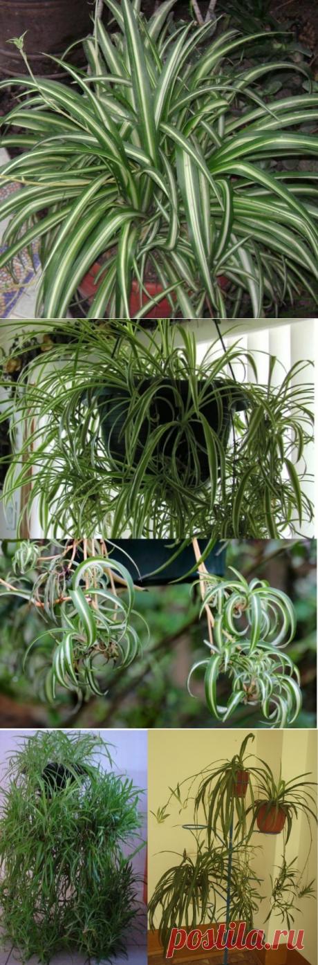 Цветок хлорофитум хохлатый: фото и уход в домашних условиях: теневые