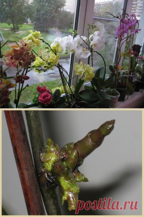 Цитокининовая паста: эффективное средство в помощь цветоводам, выращивающим орхидеи