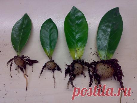 Самые доступные способы размножения замиокулькаса единичным листом. Нюансы ухода за саженцами   На земле инфо   Яндекс Дзен