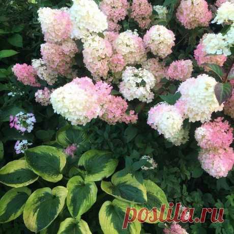 5 вариантов что посадить рядом с гортензией, чтобы не переборщить и не испортить цветник | посуДАЧИм об огороде | Яндекс Дзен