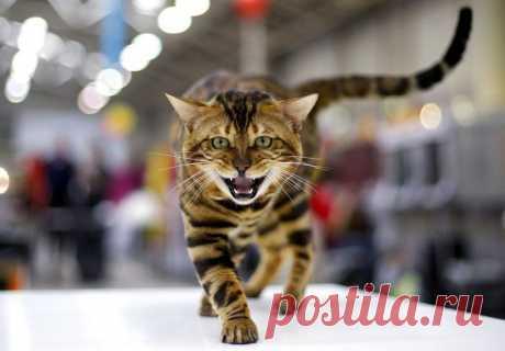 Выставка кошек в Риме (Mediterranean Winner 2016)