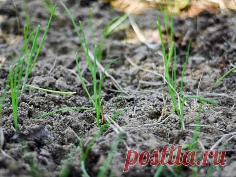 Выращивание лука через рассаду в домашних условиях - Флорист-Х