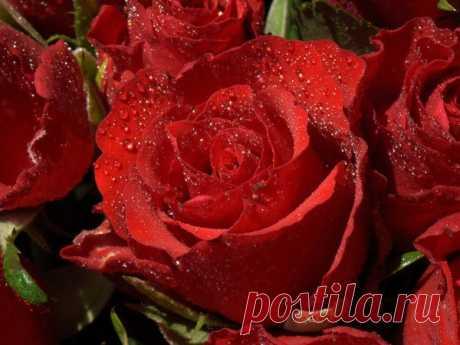 Красные розы фото прекрасных цветов