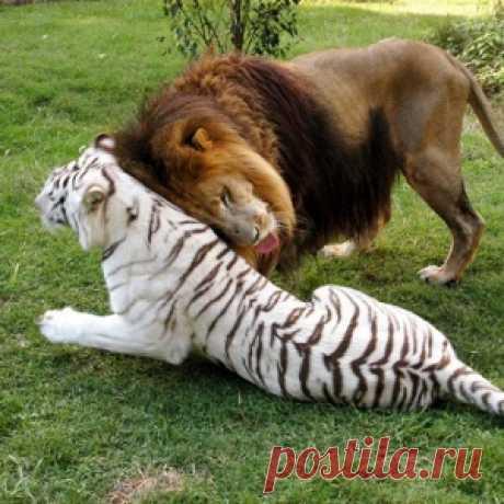 Безграничная любовь африканского льва и тигрицы-альбиноса - МирТесен