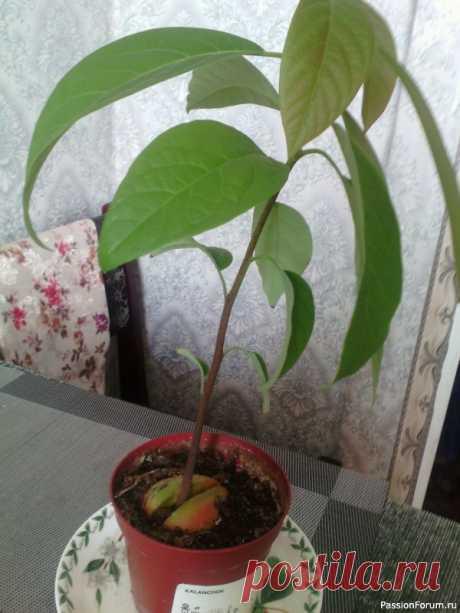 Помогите вырастить авокадо! | Разговоры на любые темы