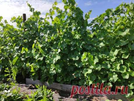 Приближается осенняя обрезка винограда, а с ней – и формирование куста | Самарский виноград | Яндекс Дзен