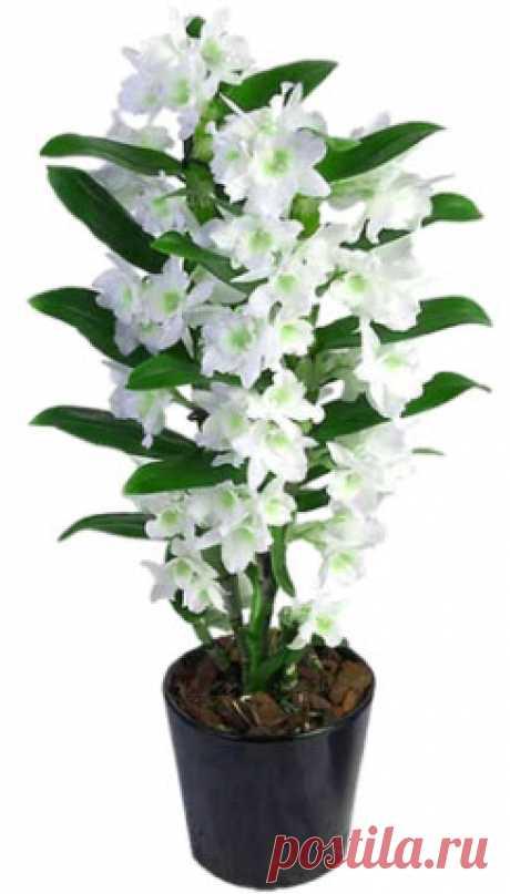 Орхидея дендробиум основные виды, рекомендации по уходу и размножению в домашних условиях (фото): дендробиум после цветения