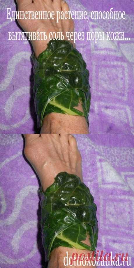 Единственное растение, способное вытягивать соль через поры кожи... - domoxozauka.ru