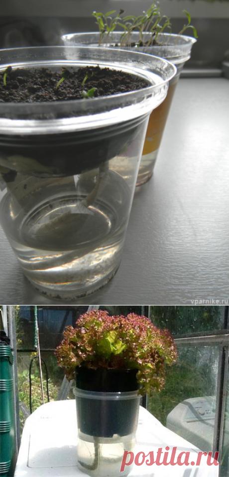 Выращивание рассады без полива. Автоувлажнение   Vparnike.ru