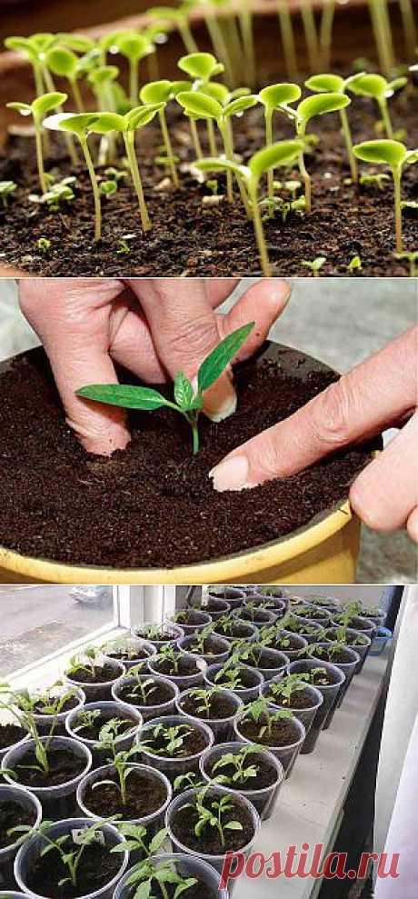 Как провести пикировку сеянцев, закалка рассады