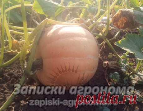 Как сажать тыкву в открытый грунт семенами • zapiski-agronoma.ru