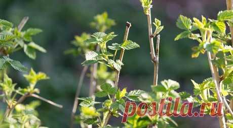 El cuidado de la frambuesa en primavera en Supersadovnik.ru