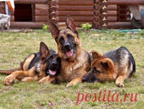 Три немецких овчарки.  ---   Wall | VK