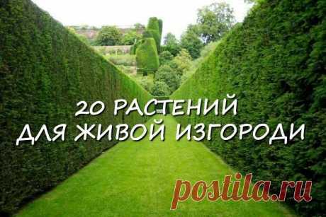 20 растений, из которых лучше всего делать живые изгороди.