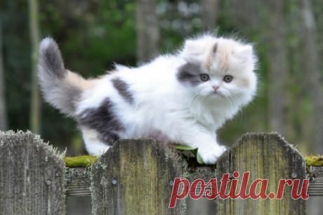 Порода кошек Манчкин - характерные особенности и уход