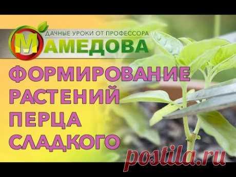 Формирование растений перца сладкого.