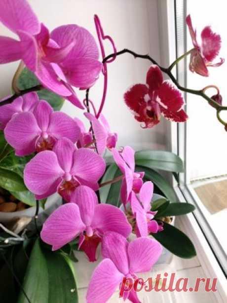 Как продлить цветение орхидей