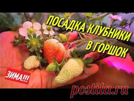 КЛУБНИКА В ГОРШКЕ,ПОСАДКА ЗИМОЙ.