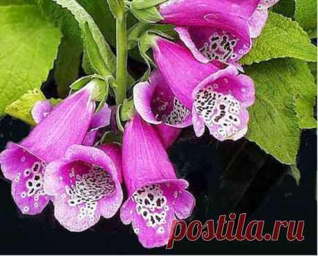 Мир цветов Наперстянка - 2, примула садовая и другие интересности... (home.nature.mircvetov) : Рассылка : Subscribe.Ru