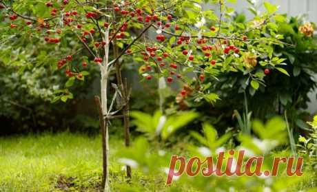 Чем подкармливать вишню и черешню: схемы подкормок с весны до осени | Вишня, черешня (Огород.ru)