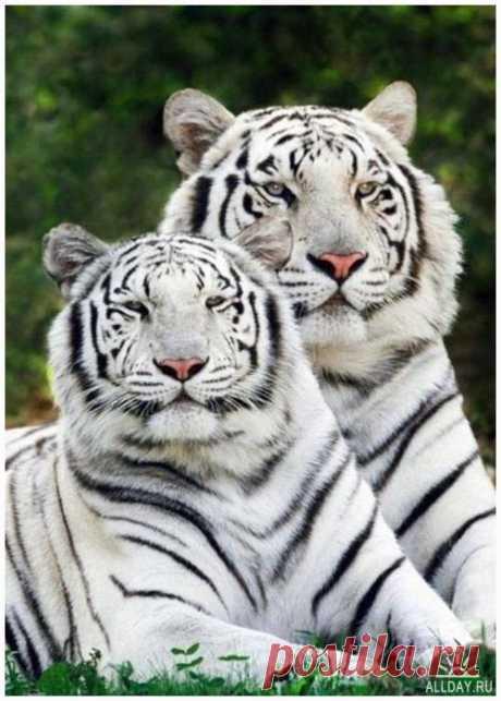 фото тигров - Поиск в Google