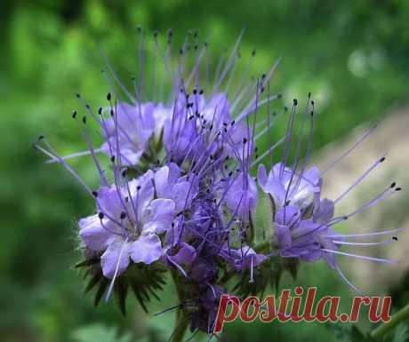 Неприхотливый и красивый цветок - помощник в саду | Ландшафтный дизайн | Яндекс Дзен