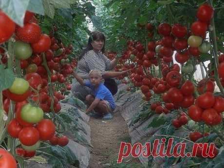 Волшебный бальзам для роста помидоров!  В бочку (200-300 литров) насыпаем одну треть крапивы, ведро коровяка, 2 лопаты золы, 2 кг. дрожжей, 3 литра сыворотки. Настаивается 2 недели. Полученный состав разбавляем водой в пропорции 1:10 (литровая банка на ведро) и подливаем под корень один раз в 7-10 дней.  Помидоры растут как на дрожжах! И никакой химии!