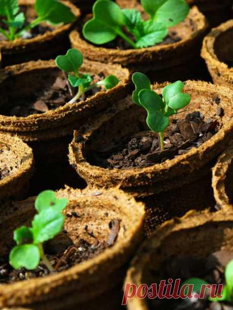 Чем полить рассаду томатов, чтобы лучше росла 🚩 растет или растет как правильно 🚩 Сад и огород