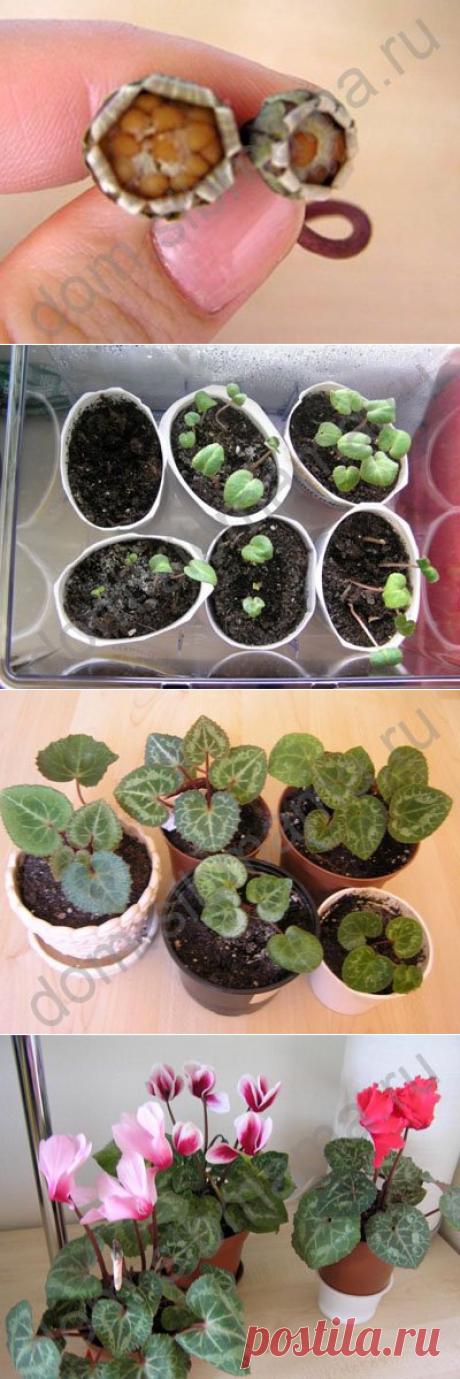 Выращивание цикламенов из семян - Домашние растения