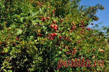 7 ягодных кустарников, которые украсят придомовую территорию | Идеальный огород | Яндекс Дзен