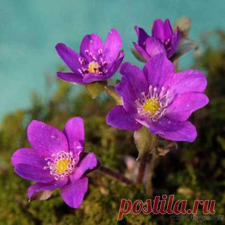 Многолетний садовый цветок Печеночница (Hepatica). Семейство: лютиковые (Ranunculaceae). Синонимы: гепатика. Приземистый корневищный травянистый многолетник высотой 6-8 см.  Основные виды П.благородная (H.nobilis) - широко распространенный в лесах средней полосы вид. Листья прикорневые, кожистые, трехлопастные, зимующие под снегом; весной после цветения они заменяются новыми. Цветки одиночные, звездчатые (6-8 лепестков), диаметром 2,0-2,5 см, на цветоножке длиной 10-15 см.