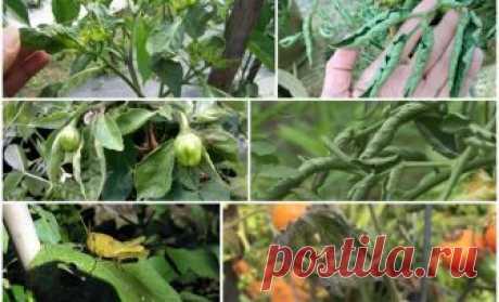 Почему у помидоров и перца скручиваются листья и что нужно делать    Если у рассады помидоров вянут, желтеют, сохнут и скручиваются листья (это может происходить и с перцем), нужно установить причину и помочь растению, ведь скрученные листья нарушают процесс фотосин…