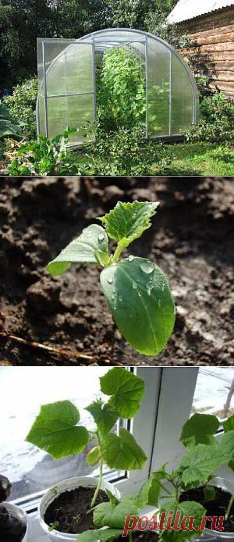 Выращивание огурцов в открытом грунте, теплице, бочке и на подоконнике | Дача - впрок